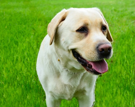 Labrador retriever portrait against green grass photo