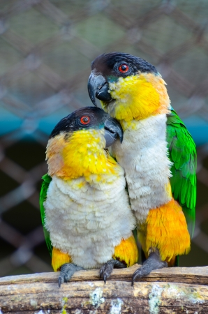 Couple of parrots on a branch in love photo