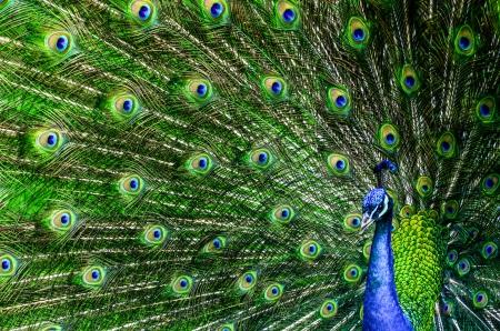pluma de pavo real: Pavo real con hermosas plumas multicolores Foto de archivo