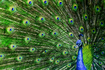 Peacock with beautiful multicolored feathers photo