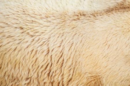 White polar bear fur texture Stock Photo