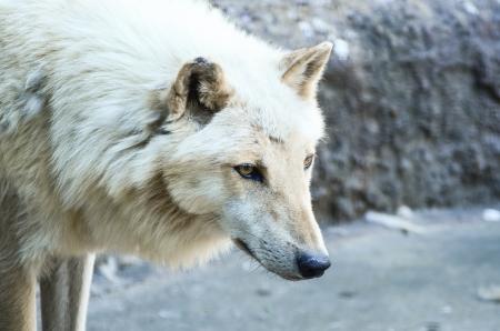 White wolf portrait photo