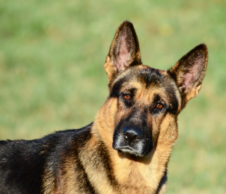 German Shepherd funny portrait photo