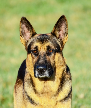 German Shepherd portrait photo