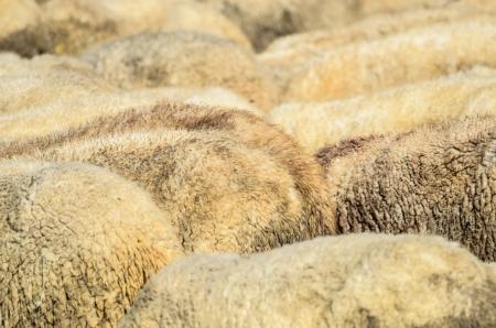 Sheep herd - wool concept Stock Photo - 15918530
