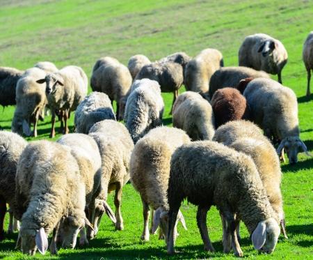 Sheep in nature grazing Stock Photo - 15918519