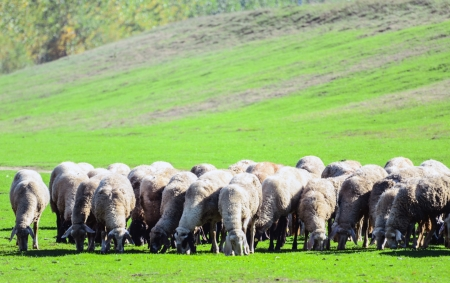 Herd of sheep Stock Photo - 15918443