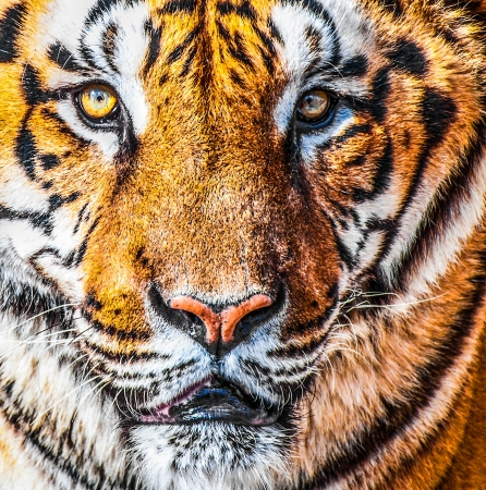 Bengal tiger portrait photo