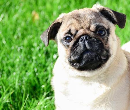 Cute pug portrait against green grass