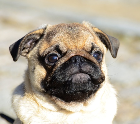Cute pug puppy portrait