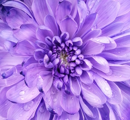 Chrysanthemum flower macro shot photo