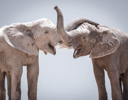 Elephant couple against gray background photo
