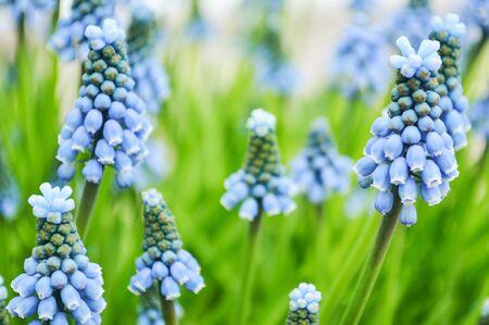 bunchy: Fresh blue spring flowers macro