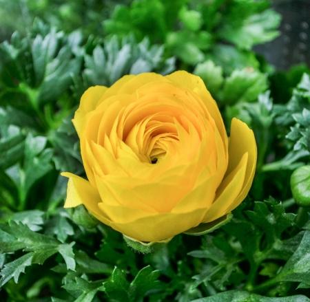 yelllow: Yelllow rose