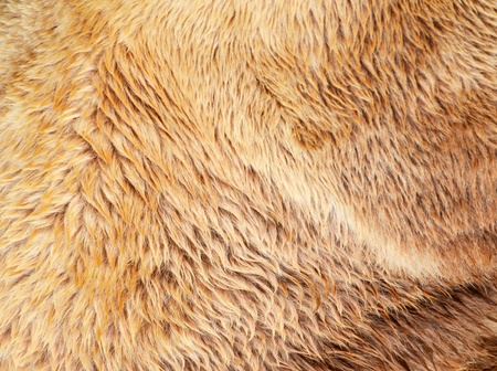 wet bear: Bear fur texture