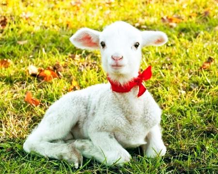 pasen schaap: Cute lam