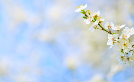 Plum tree flowers against bokeh background Stock Photo - 18945134
