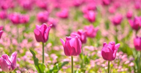 Field of pink tulips photo