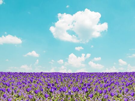 Purple tulip field and blue sky landscape photo