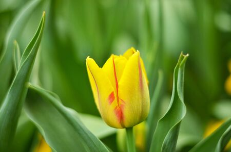 Yellow tulip close-up photo