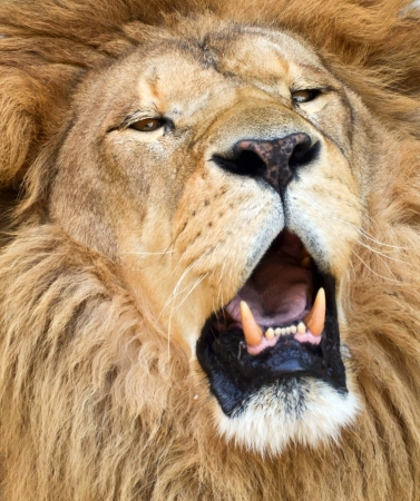 African lion roaring portrait photo