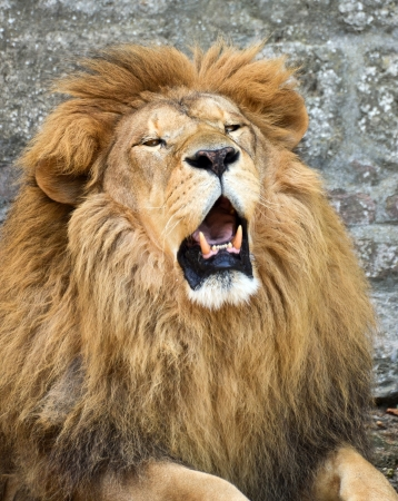 angry lion: Angry African lion