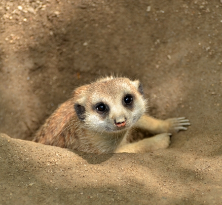 Meerkat peeking from ground photo