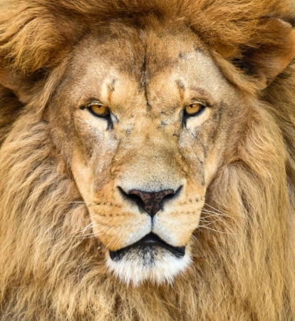Portrait of beautiful African lion photo