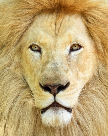 Portrait of white African male lion photo