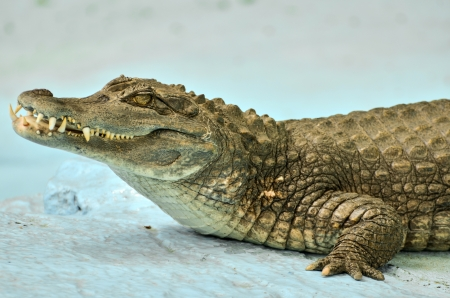 Small Caiman crocodile photo