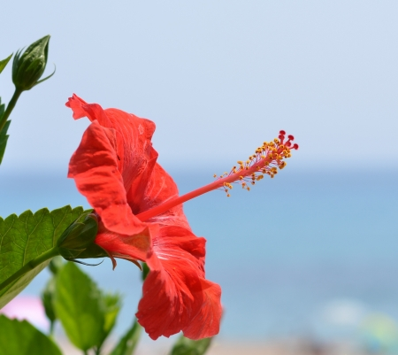 Hibiscus flower photo