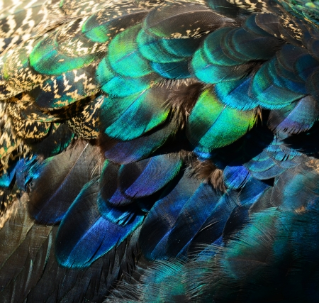 pluma de pavo real: Plumas de pavo real de colores
