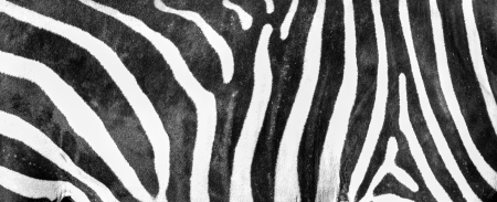 Zebra textura de la piel  photo