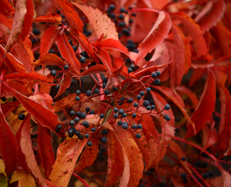 guelder rose berry: Autumn colors Stock Photo