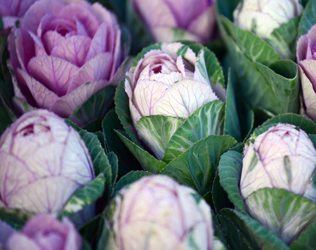 Ornamental cabbage photo