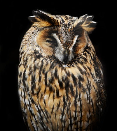Owl sleeping photo