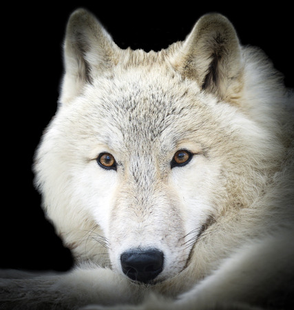 gray wolf black and white: White wolf