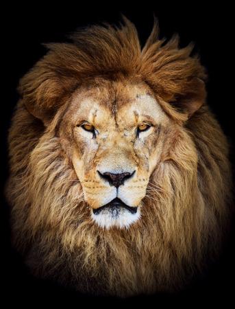 animal eye: Ritratto di enorme bellissimo uomo africano leone su sfondo nero