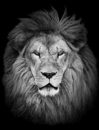 noir et blanc: Portrait de grand beau m�le lion africain sur fond noir Banque d'images
