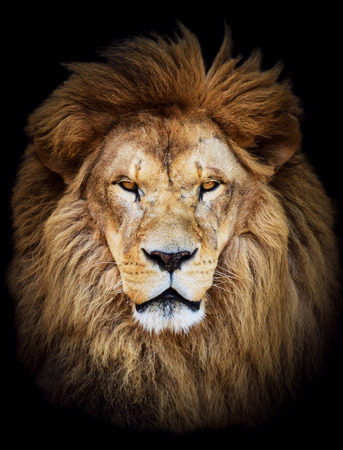 fierce: Portrait of huge beautiful male African lion against black background Stock Photo