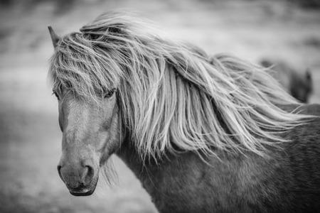 Portret van IJslandse paarden in zwart-wit Stockfoto