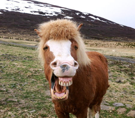 funny animal: Funny portrait of Icelandic horse