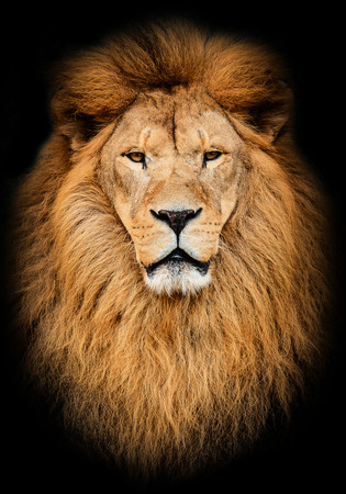 Portrait of huge beautiful male African lion against black background 스톡 콘텐츠