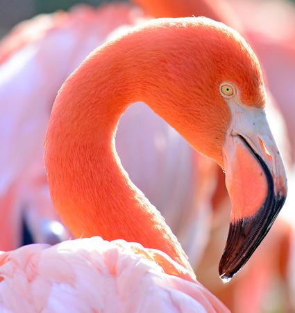 flamenco ave: Retrato hermoso p�jaro Flamingo