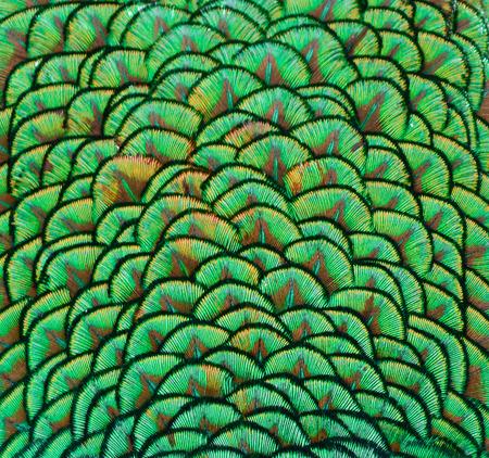 Peacock feathers texture Reklamní fotografie