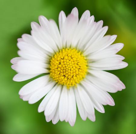 extreme macro: Spring flower Daisy extreme macro shot