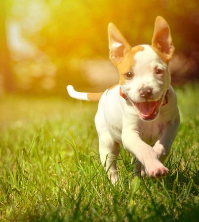 stafford: Cute Stafford puppy running on field