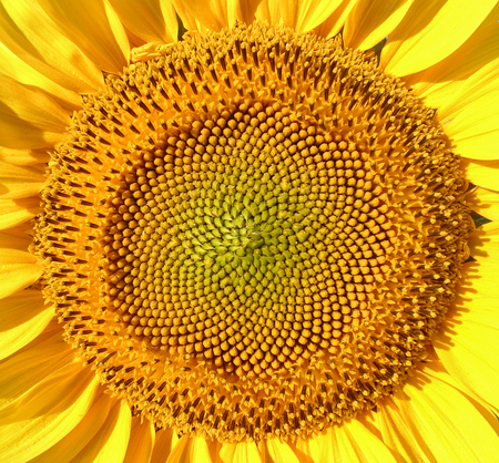 nombre d or: Sunflower macro shot