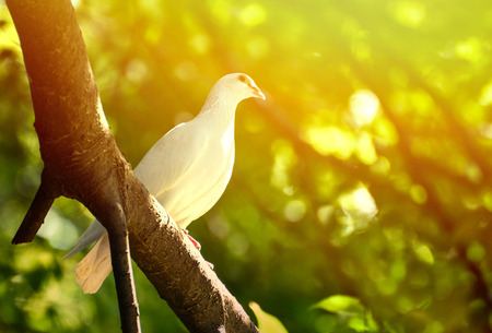 Beautiful wite pigeon on branch