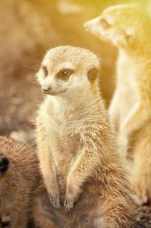 erdmaennchen: Meerkat portrait